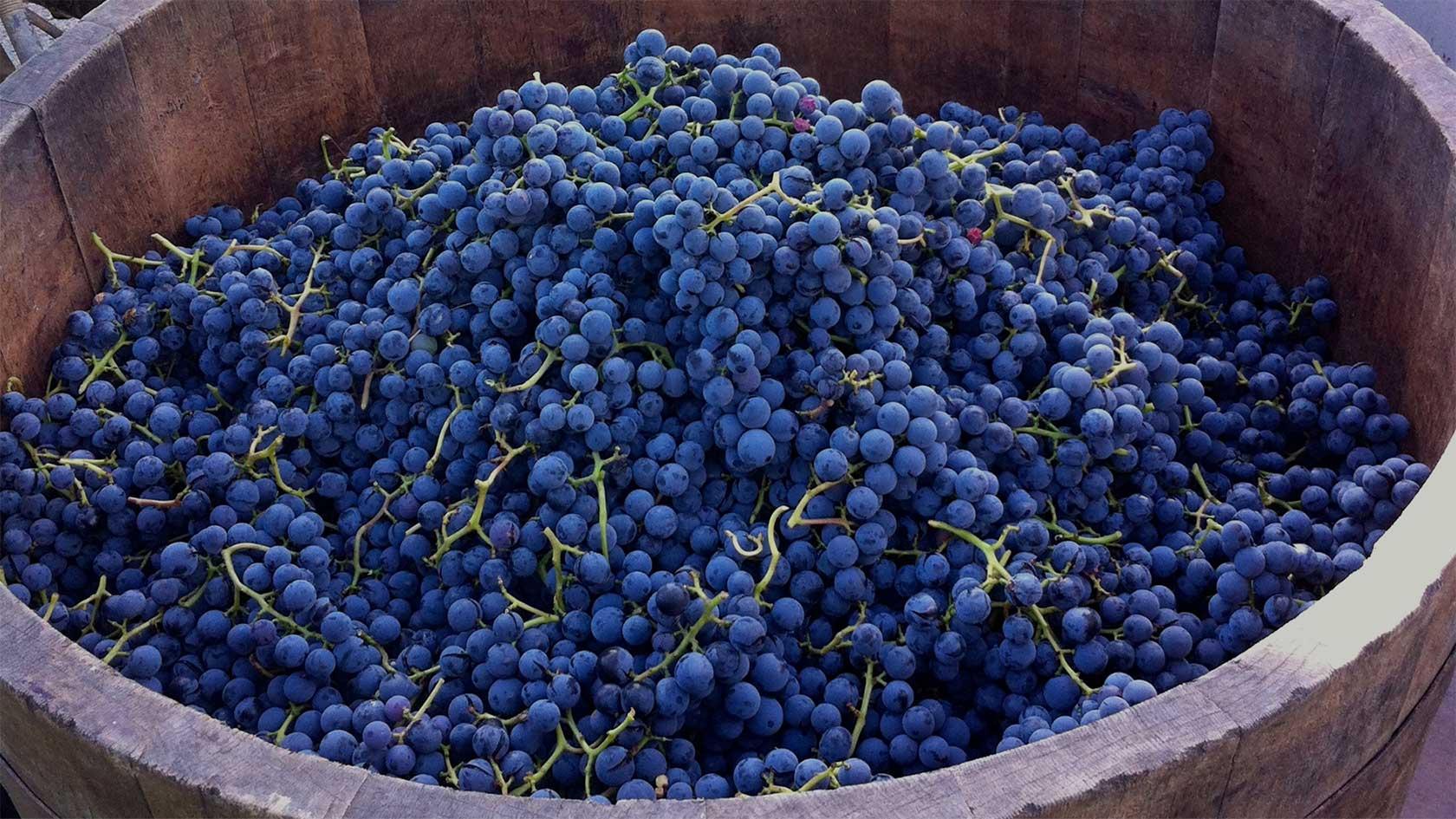 Weinshop Header, Bild mit reifen Weintrauben in einem großen Behälter bei der Weinernte